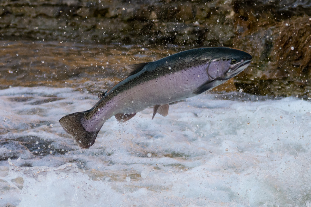 Metsiku kala aeg